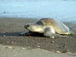 Olive Ridley Turtle on beach at Ostional near Nosara, San Juanillo and Tree Tops Bed and Breakfast